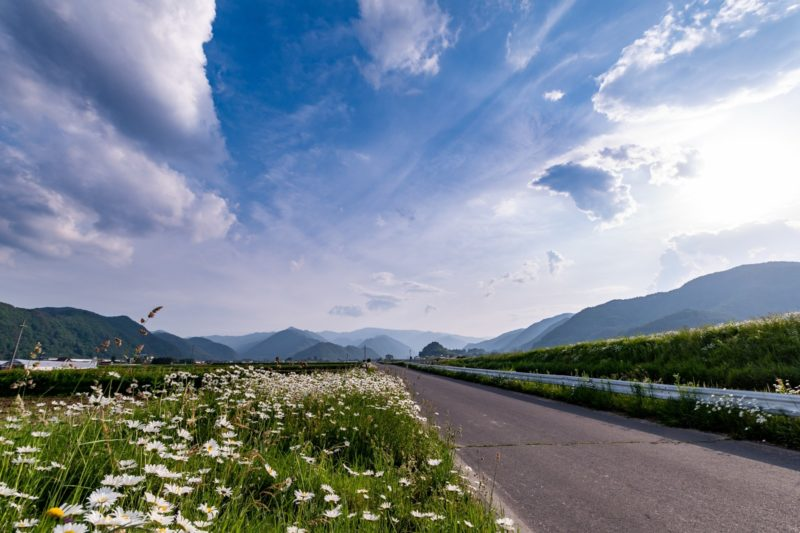 どこまでも続く一本道沿いに咲く除虫菊